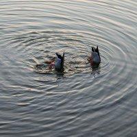Синхронное плавание! :: Сергей Черник