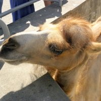 Верблюд в московском зоопарке. :: Елена