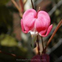 Розовый цветок :: Екатерина Перфильева