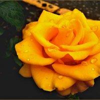 Желтая роза. :: Ольга Ламзина