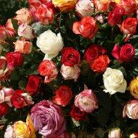 Розы :: Наталия Короткова