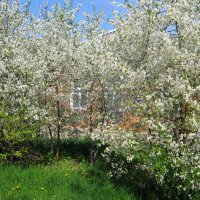 Садок вишнёвый возле дома. :: Валентина ツ ღ✿ღ