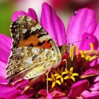 Бабочка 3 :: Ирина