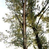 Молния ударила в дерево - 2 :: Виктор