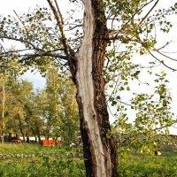 Молния ударила в дерево - 3 :: Виктор