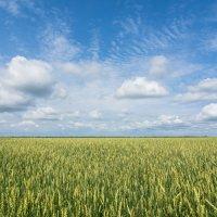 пшеничное :: Vlad Us