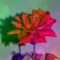 Красивая роза :: Ольга Демченко