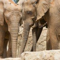 Слоны в биопарке :: Евгений Андреев
