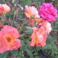 розы :: Надежда