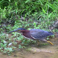 Американская зелёная кваква (Green Heron) :: Илья Трейгер