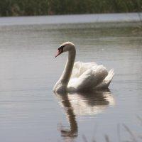 А белый лебедь на пруду... :: Ignatoff .