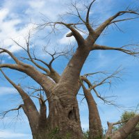 Бутылочное дерево :: Евгений Андреев