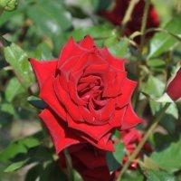 роза Болгарии :: Александр Матвеев
