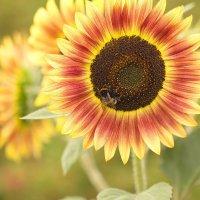 Пчелка на подсолнухе. :: Anton Lavrentiev