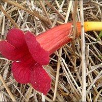 Упавший цветочек кампсиса :: Нина Корешкова