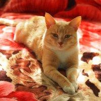 Кот на одеяле :: Григорий Азатян