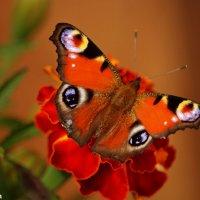 Бабочка:) :: Мария Туркина