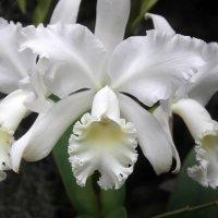орхидеи3 :: Olga