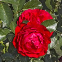 Роза :: Александр Синчуков