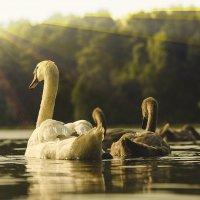 Плывите, ути-пути. :: Sergey Lexin