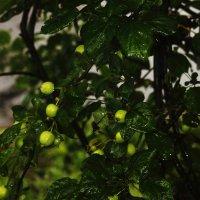 Яблоня. После дождя. :: Cветёлка ***