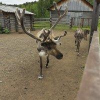 Северный олень в неволе. :: Валерий Молоток