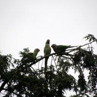 попугаи :: Olga