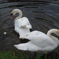 Пара лебедей :: Нина Корешкова