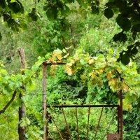 Виноград :: ОЛЬГА КОСТИНА