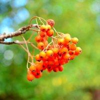 """""""и только гроздья рябины..."""" :: Андрей Вестмит"""