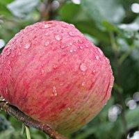 С праздником Яблочного спаса! :: Эркин Ташматов