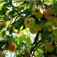 Урожай на яблоки... :: Тамара (st.tamara)