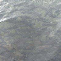 Рыбка кишмя кишит :: Елена Павлова (Смолова)