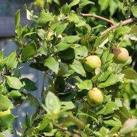 Яблочки молодильные..... :: Tatiana Markova