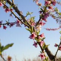 персиковые цветы .. :: Amina selma saidi