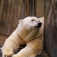 Белый Медведь :: Georg Förderer