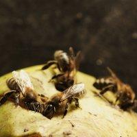 Пчелы едят грушу :: Руслан