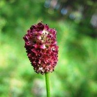 Растение Кровохлебка :: Татьяна Ильина