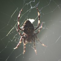 Arachna :: redfox