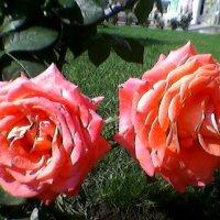 Розы :: Миша Любчик