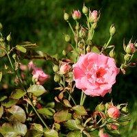 Пермские розы :: Ольга Кесс