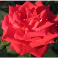 Её величество роза... :: Тамара (st.tamara)