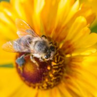 Пчела :: Павел К