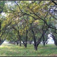 Яблоневый сад Ѽ. :: Валентина ツ ღ✿ღ