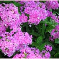 Задержать до последнего вздоха этих нежных  цветов аромат. :: Валентина ツ ღ✿ღ