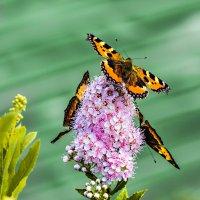 Бабочки :: Nn semonov_nn