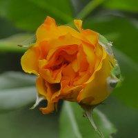 Дарите желтые цветы ! :: Ольга Винницкая (Olenka)