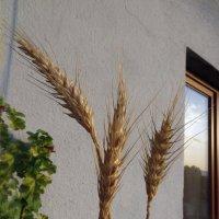 Пшеница на моем балконе :: Наталья Джикидзе (Берёзина)