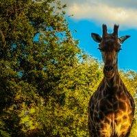 жираф :: Саша Ш.