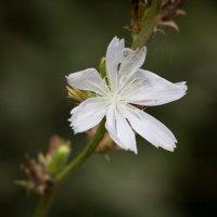 """...""""белые цветы..."""" :: Caba Nova"""